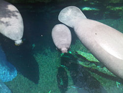 Concentrations of manatees increase as temperatures drop