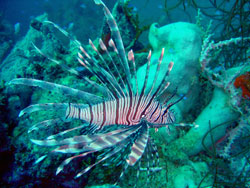 Divers Can Net Cash and Prizes for Bagging Lionfish